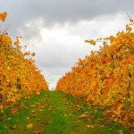 Grapevines - Orlandini Vineyard